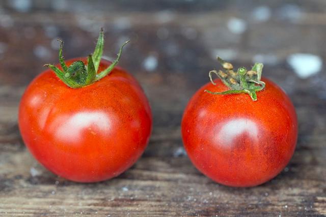 hvad er en tomat