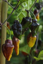 Økologiske tomatfrø