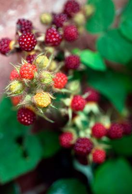 laver på stikkelsbær busk