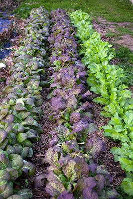 flerårige spiselige planter