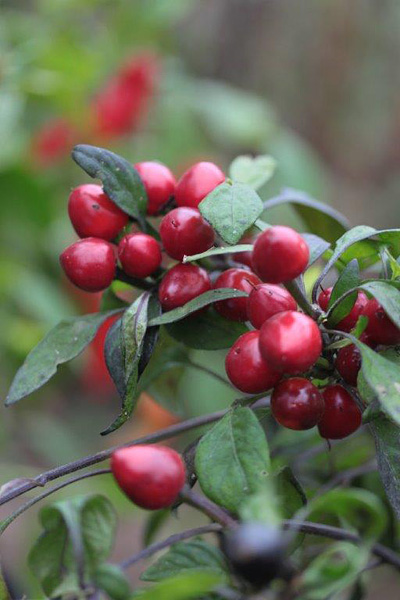 Camilla plum frø   Møbler til terrassen og haven